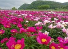 [영천]작약꽃축제 거리두기 행사로 개최 !